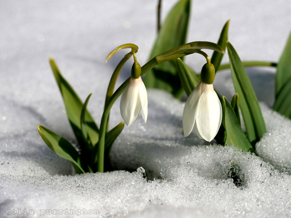 Snowdrops auntie dogmas garden spot snow drops in snow l mightylinksfo
