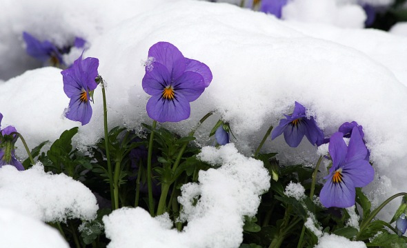 violets in snow