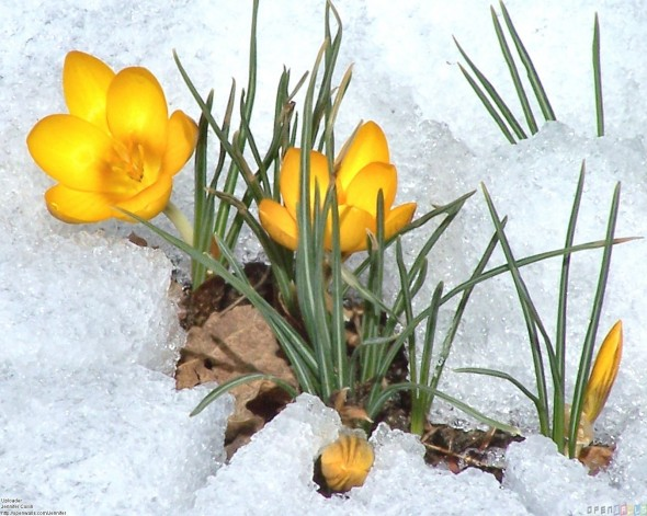 yellow_crocus_flowers_in_the_snow_1600x1279