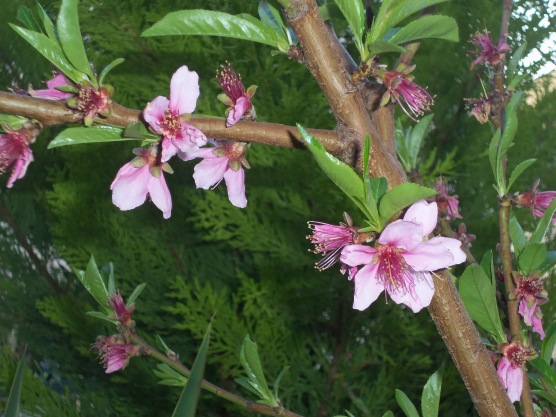 peach tree blossoms