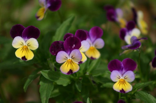 Edible plants auntie dogmas garden spot sweet violets violas and pansies are annual or perennial flowers that are mostly grown for their beauty the flowers and leaves are edible and can be used mightylinksfo