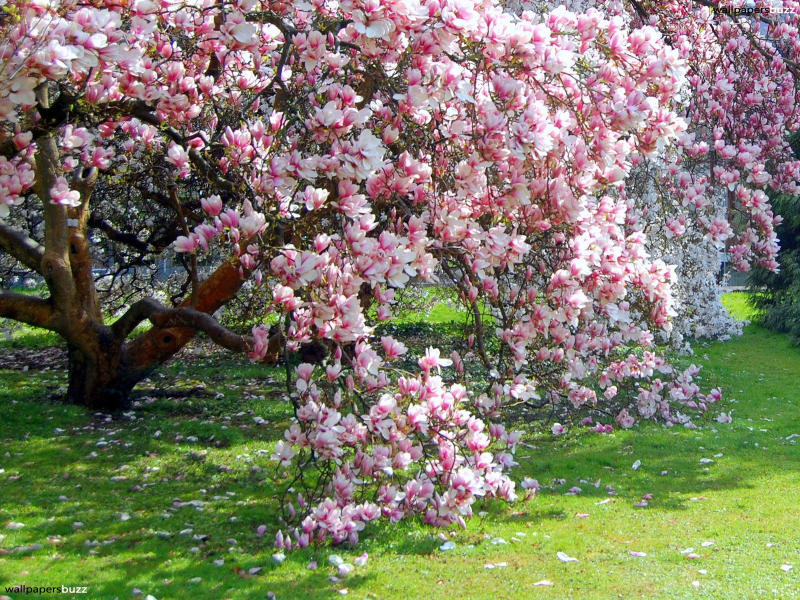 Flowering trees to use for shade | Gardening Forums