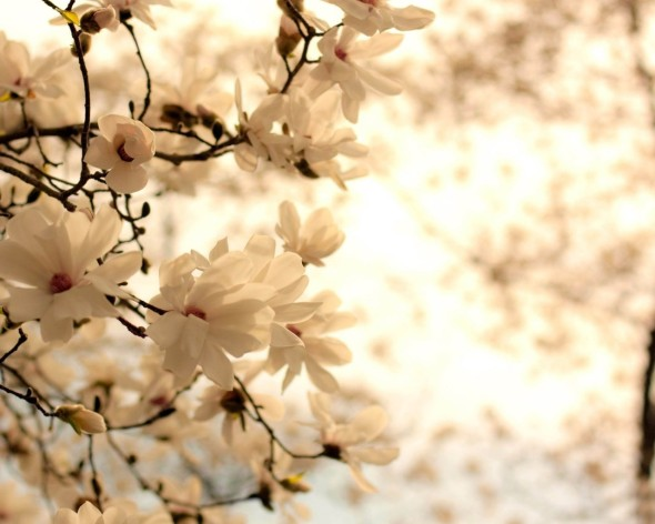 Blooming-Magnolia-Tree
