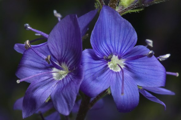 Blue_Veronica_flower