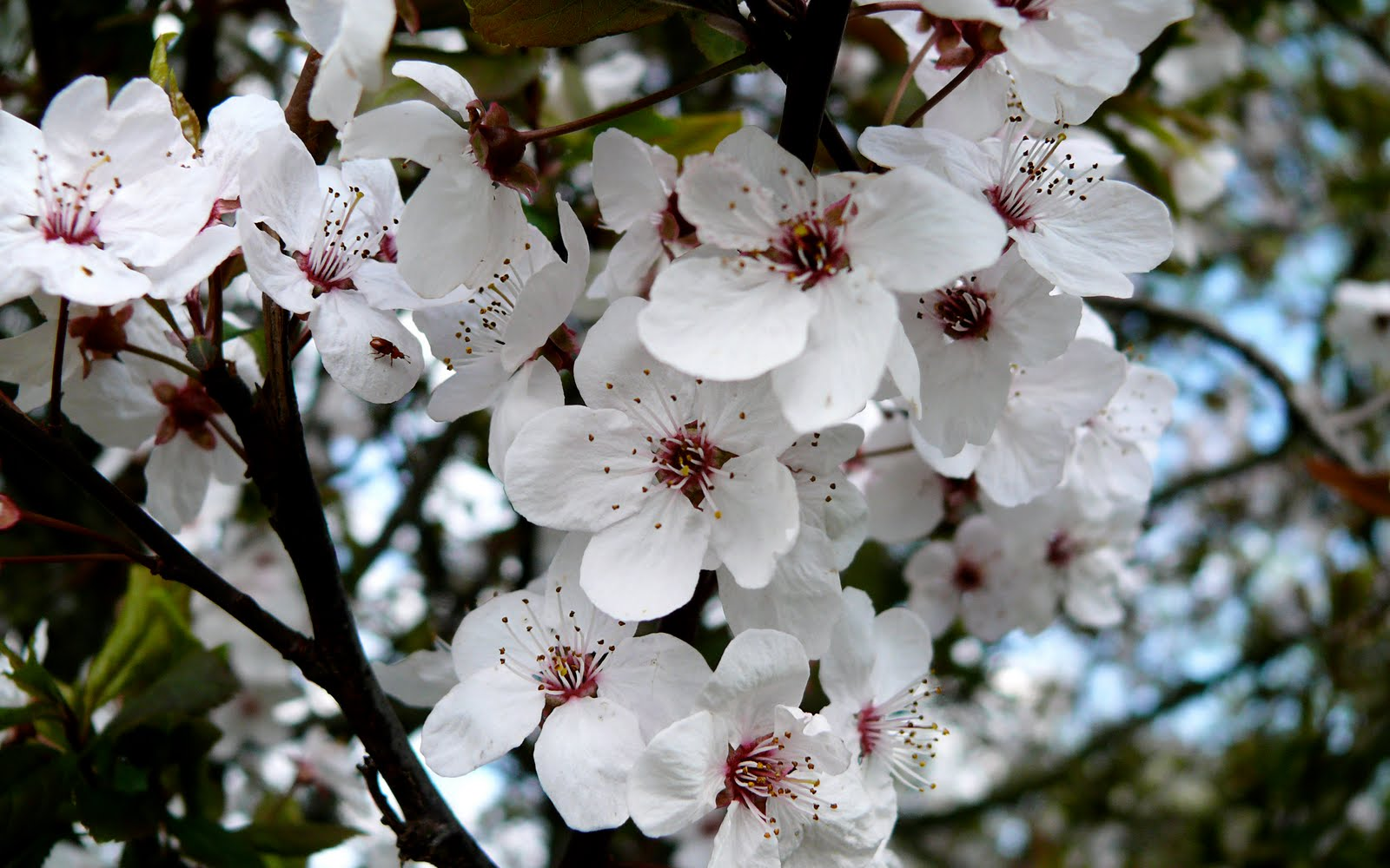 how to get rid of worms on cherry blossom trees