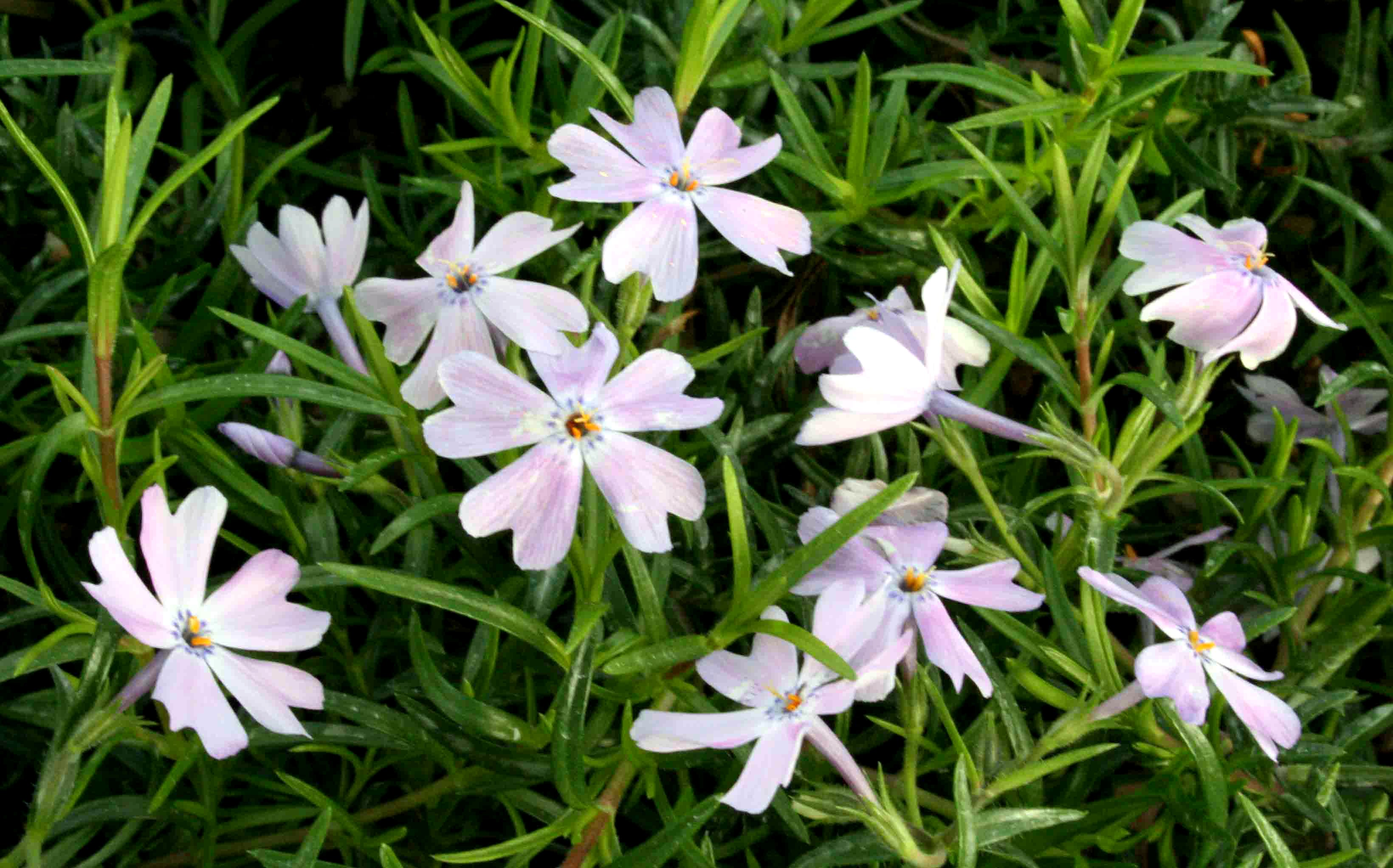 questions phlox looks original garden ask tall bad an expert