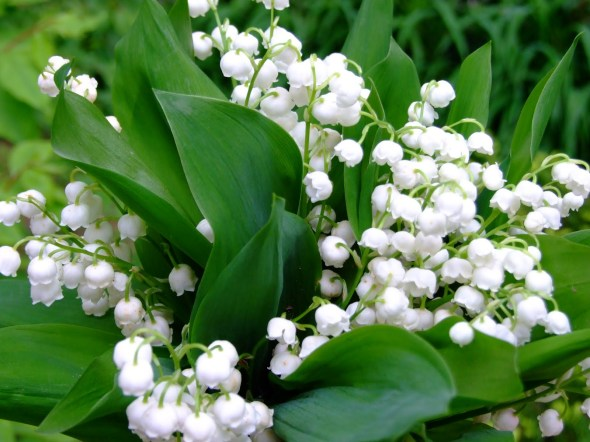 May Birth Flower Lily Of The Valley Auntie Dogma S