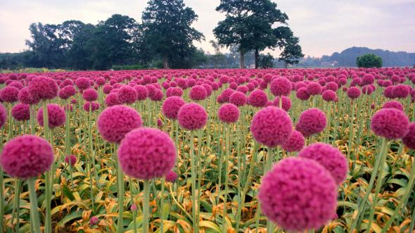 Field-of-Pink-Onions-Wassenaar-in-the-Schieland-Region-Holland-The-Netherlands