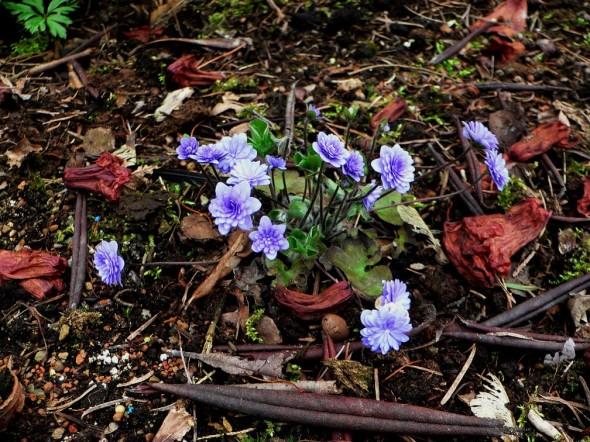 Hepatica nobilis flora plena Norge