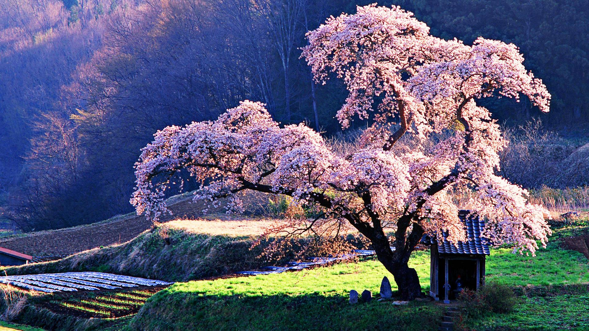 обои цветущие деревья для рабочего стола № 431680 без смс