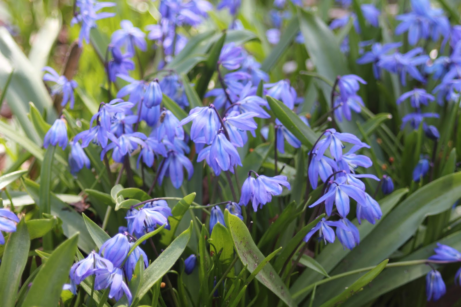 Scilla auntie dogma s garden spot - April 12 2013 Categories Flowers Gardening General Info Small Tips Tags Flowers Photography Scilla Spring Leave A Comment