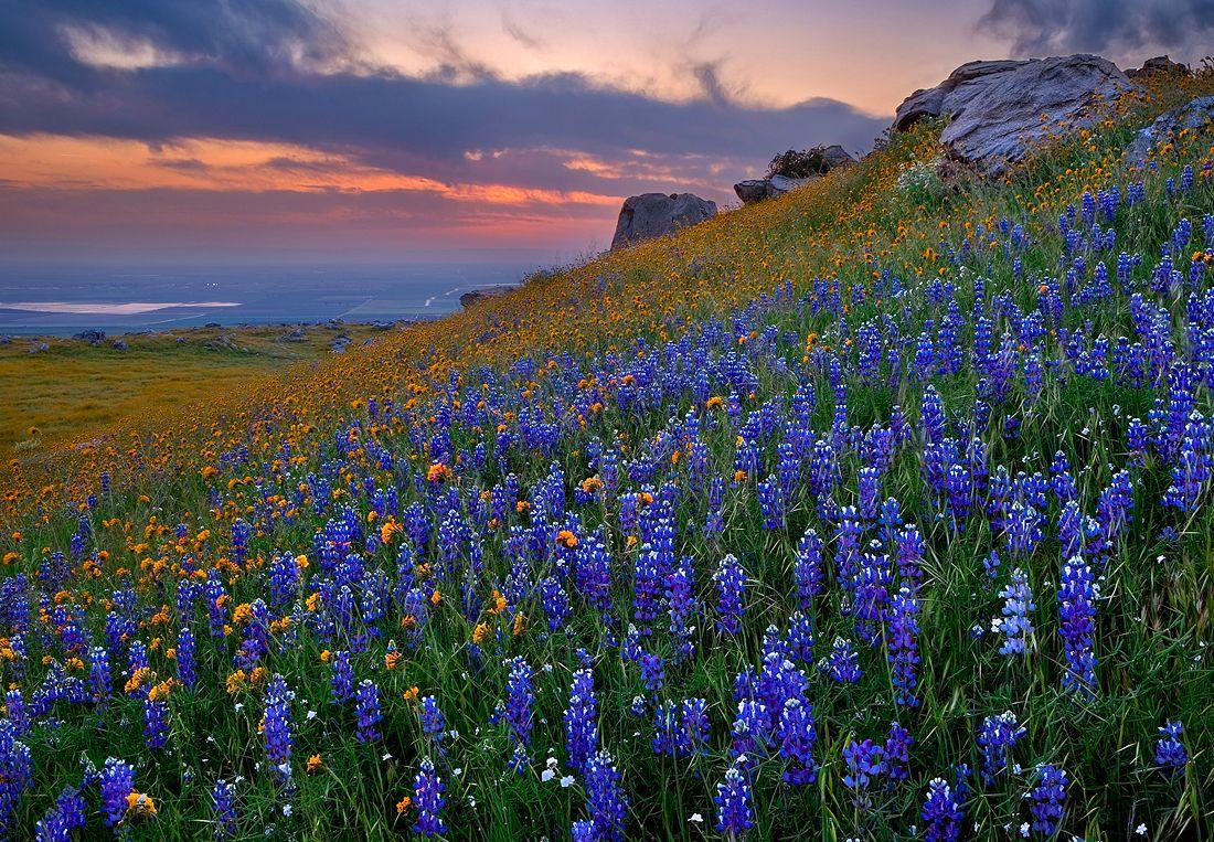 Texas Bluebells Auntie Dogma S Garden Spot