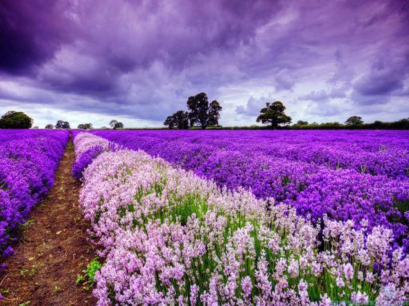 lavender-field-in-france