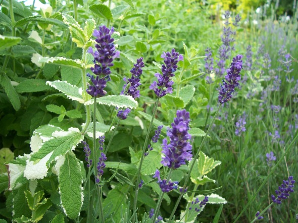 sweet Lavender Hidcote