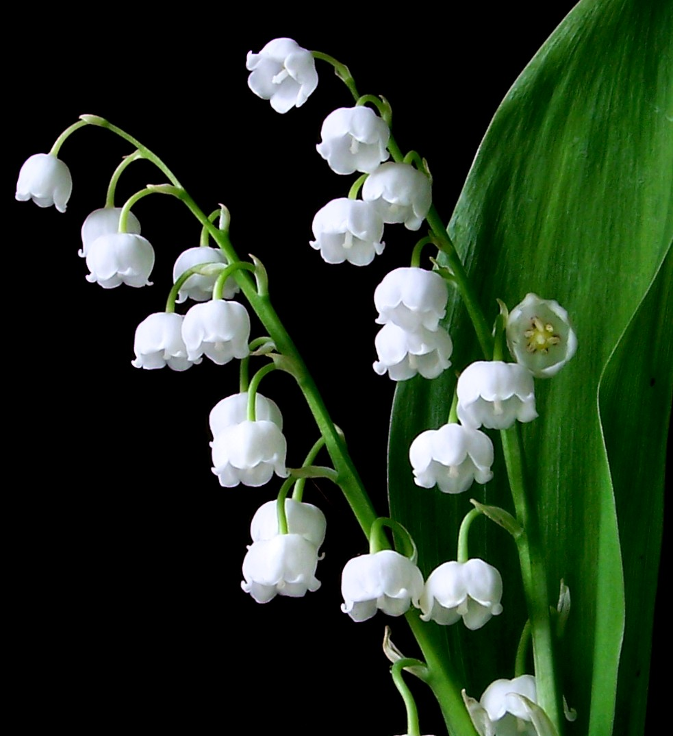 Lily Of The Valley Auntie Dogmas Garden Spot