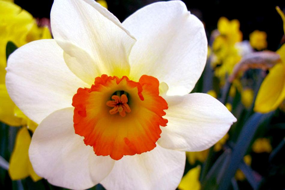 Подарок цветок нарцисс 56