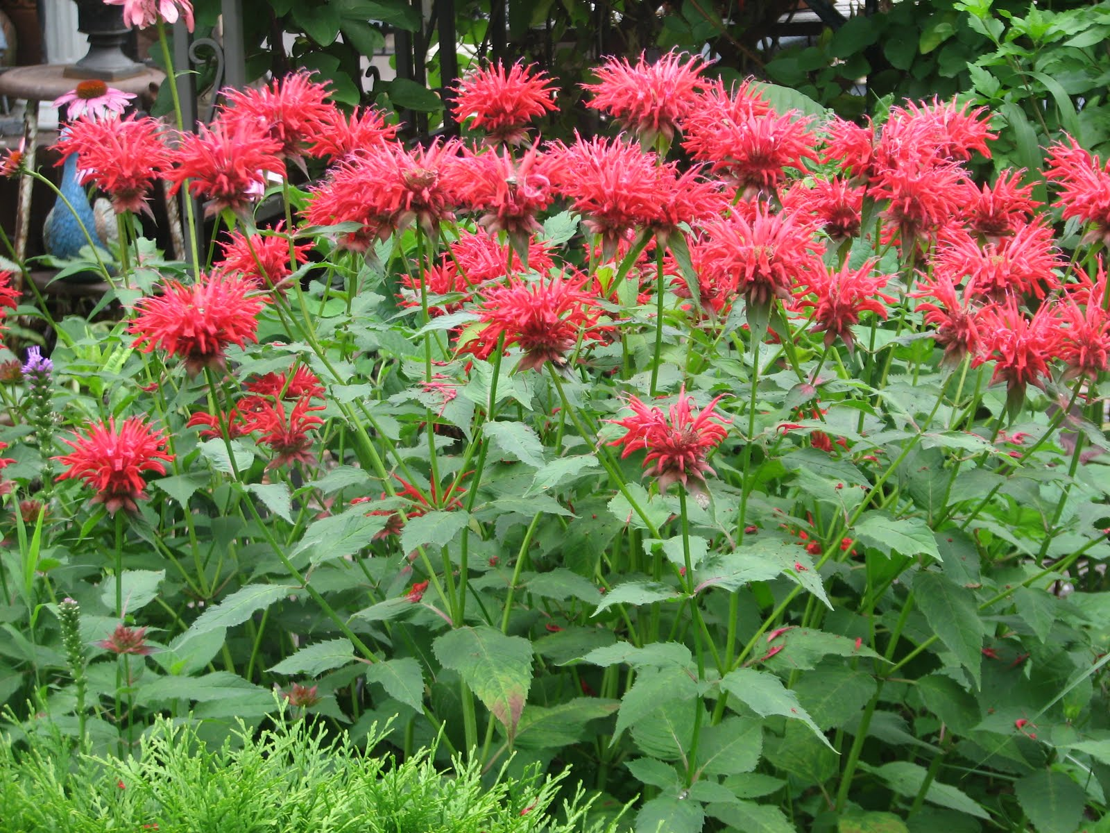 Bergamot and Bee Balm | Auntie Dogma's Garden Spot