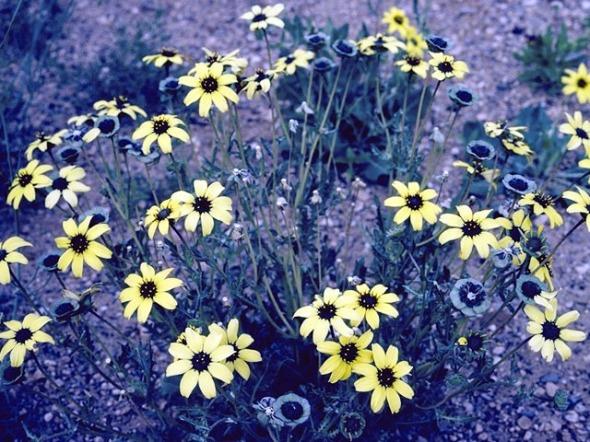 chocolate daisies