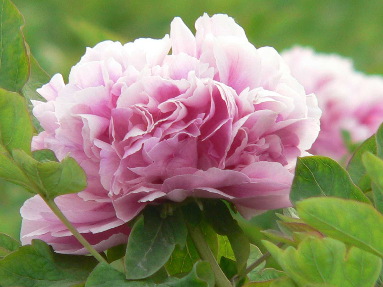 peony plant care guide auntie dogma 39 s garden spot
