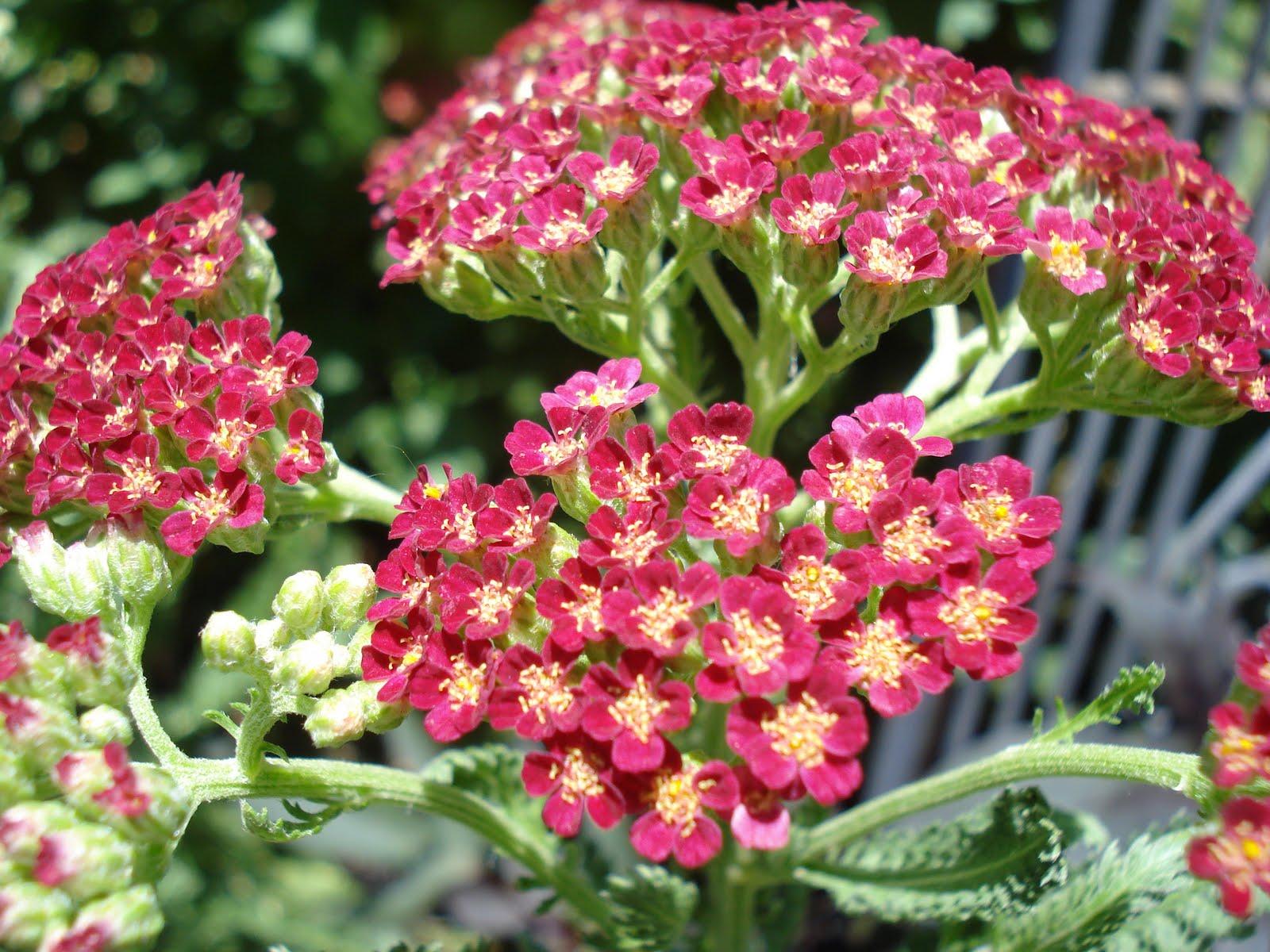 Images Of Yarrow Flower Spacehero