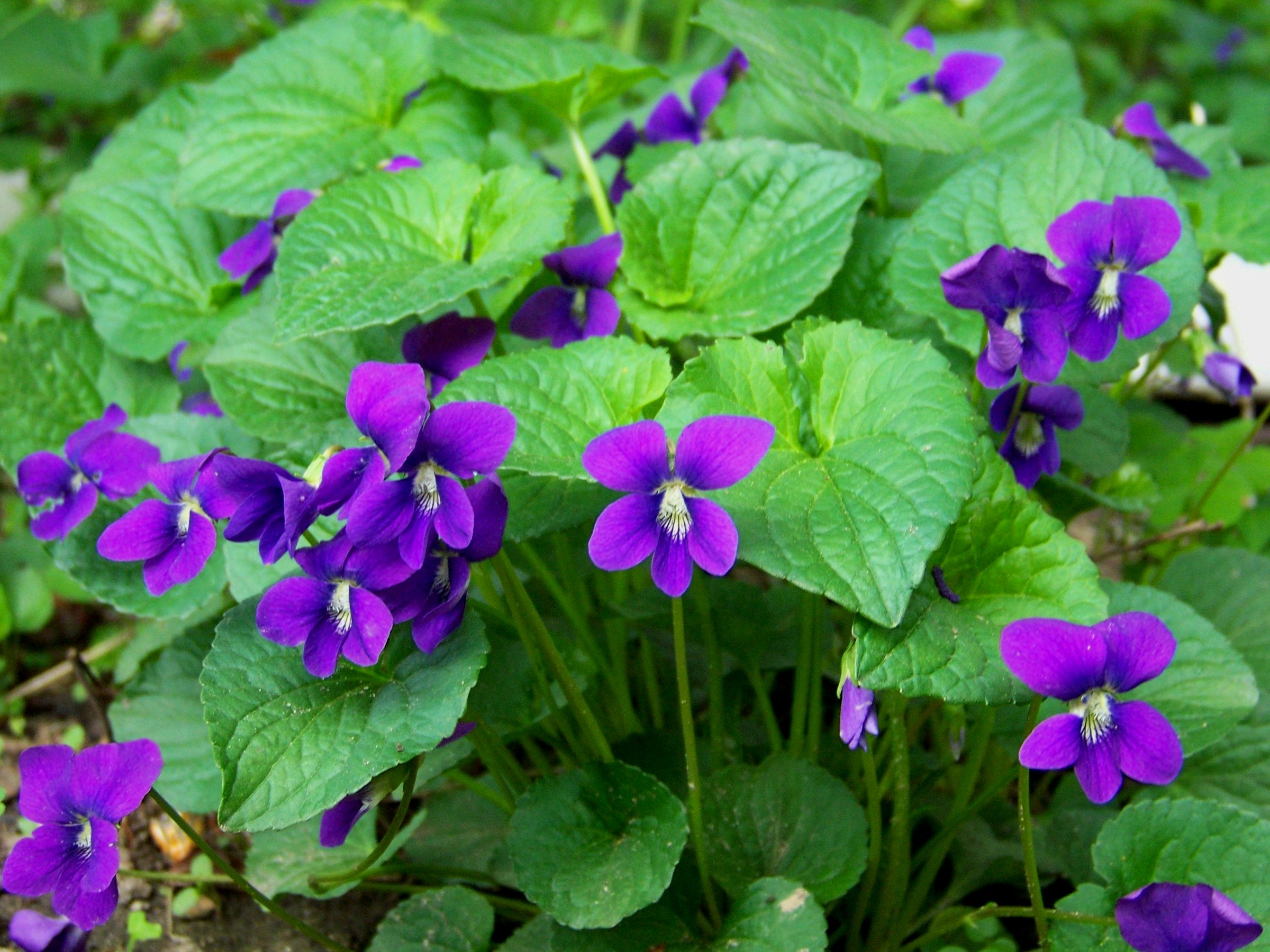 Image result for Violets