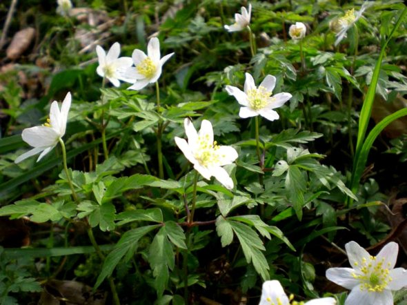 Anemone Nemorosa - Windflower
