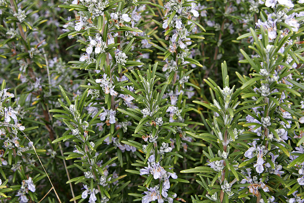 Rosemary Plant Care Guide Auntie Dogma S Garden Spot