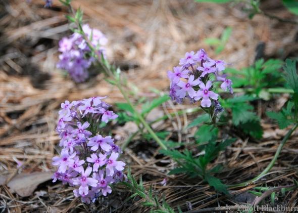 Prairie Verbena