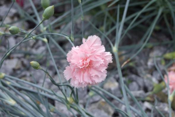 a_wild_carnation_from_the_mediterranean__i_dianthus