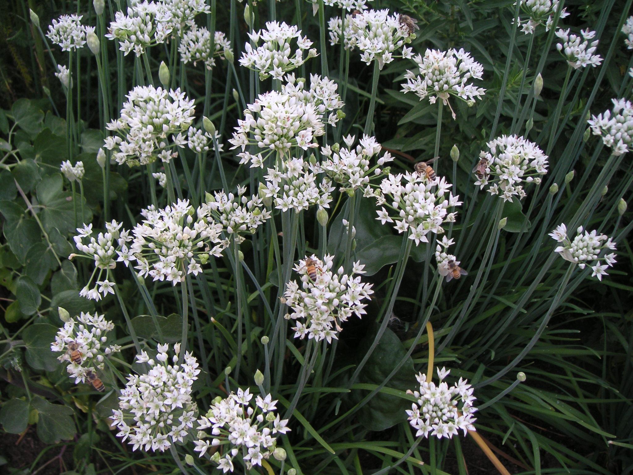 allium sativum auntie dogma 39 s garden spot