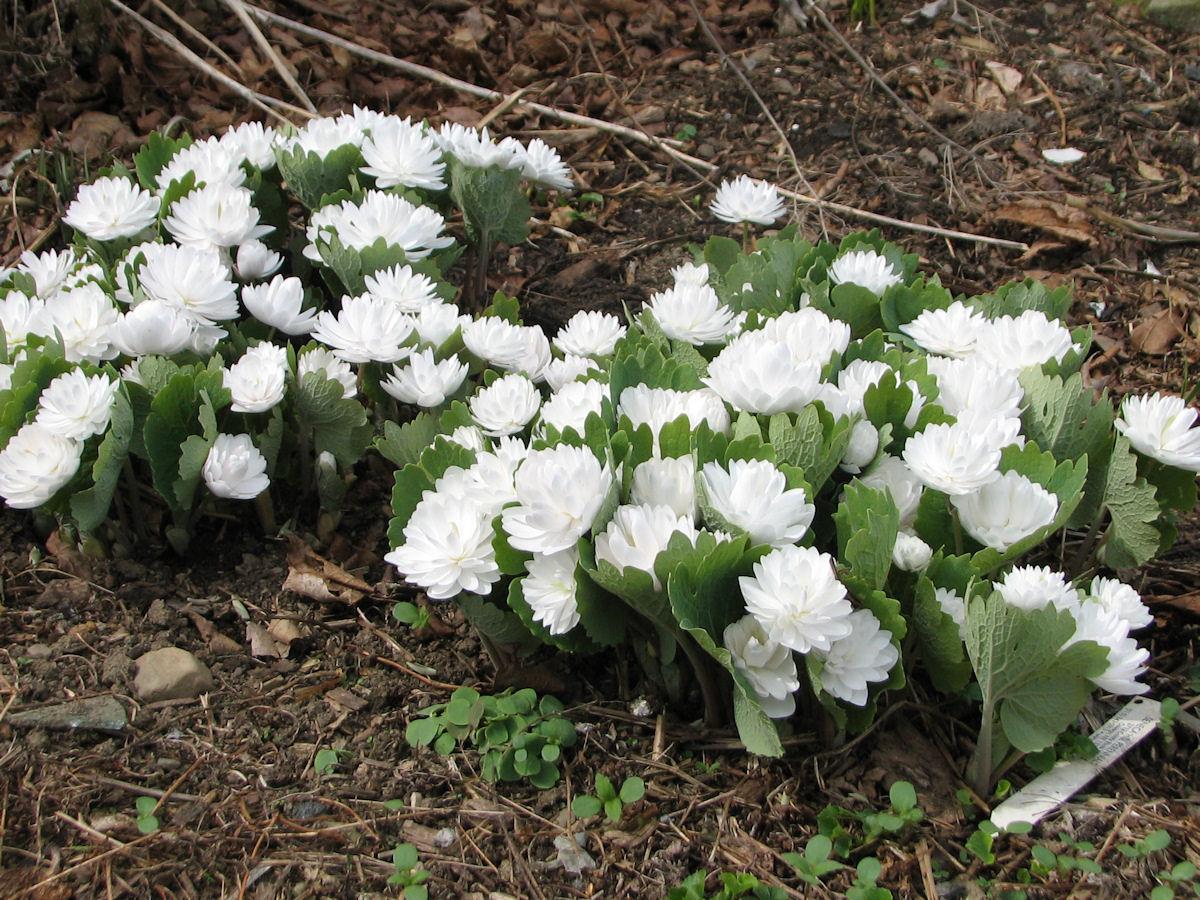 Bloodroot auntie dogma 39 s garden spot for Garden plants