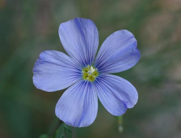 Blue_Flax_Linum_perenne_lewisii