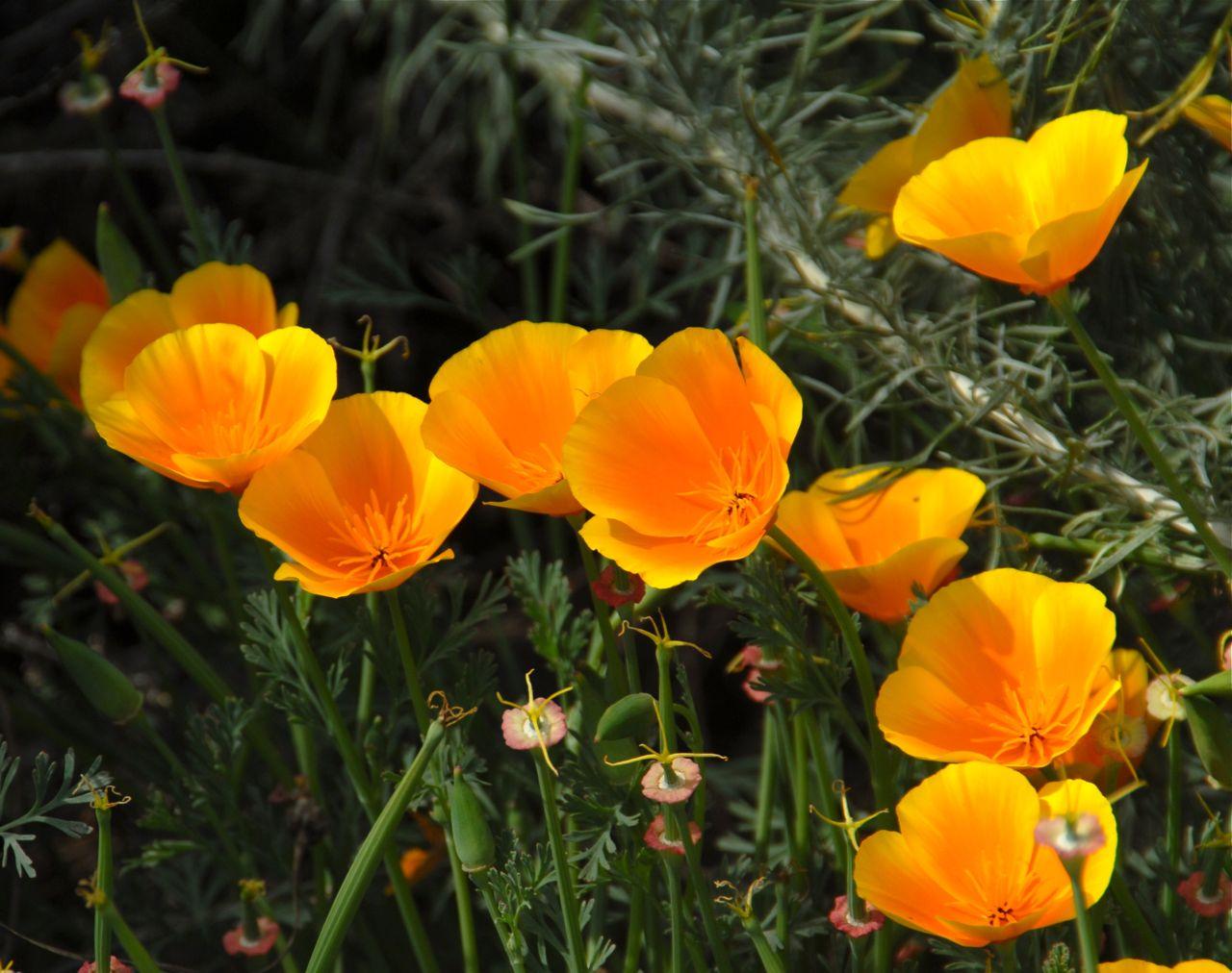 California poppy plant care guide auntie dogmas garden spot eschscholzia californica mightylinksfo
