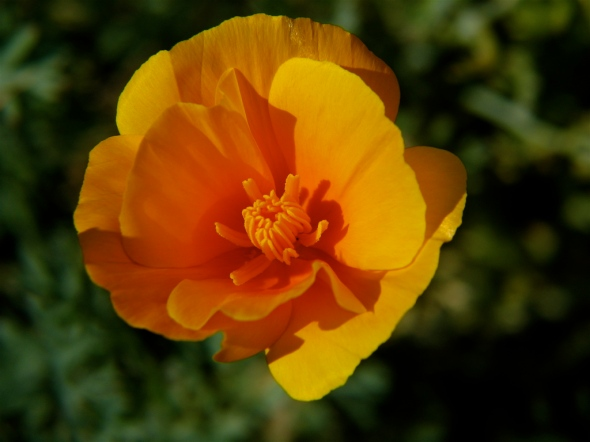 California_Poppy_(3)
