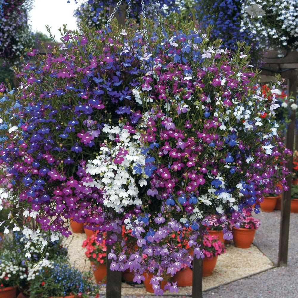 Lobelia Plant Care Guide And Varieties Auntie Dogmas Garden Spot