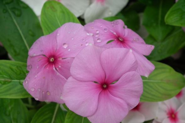 Catharanthus_roseus_aka_rosy_periwinkle_7155