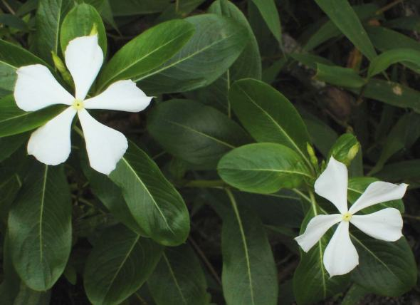 Catharanthus white