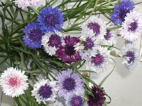 cornflower3