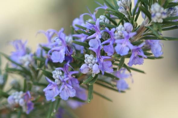 cvet-ruzmarina