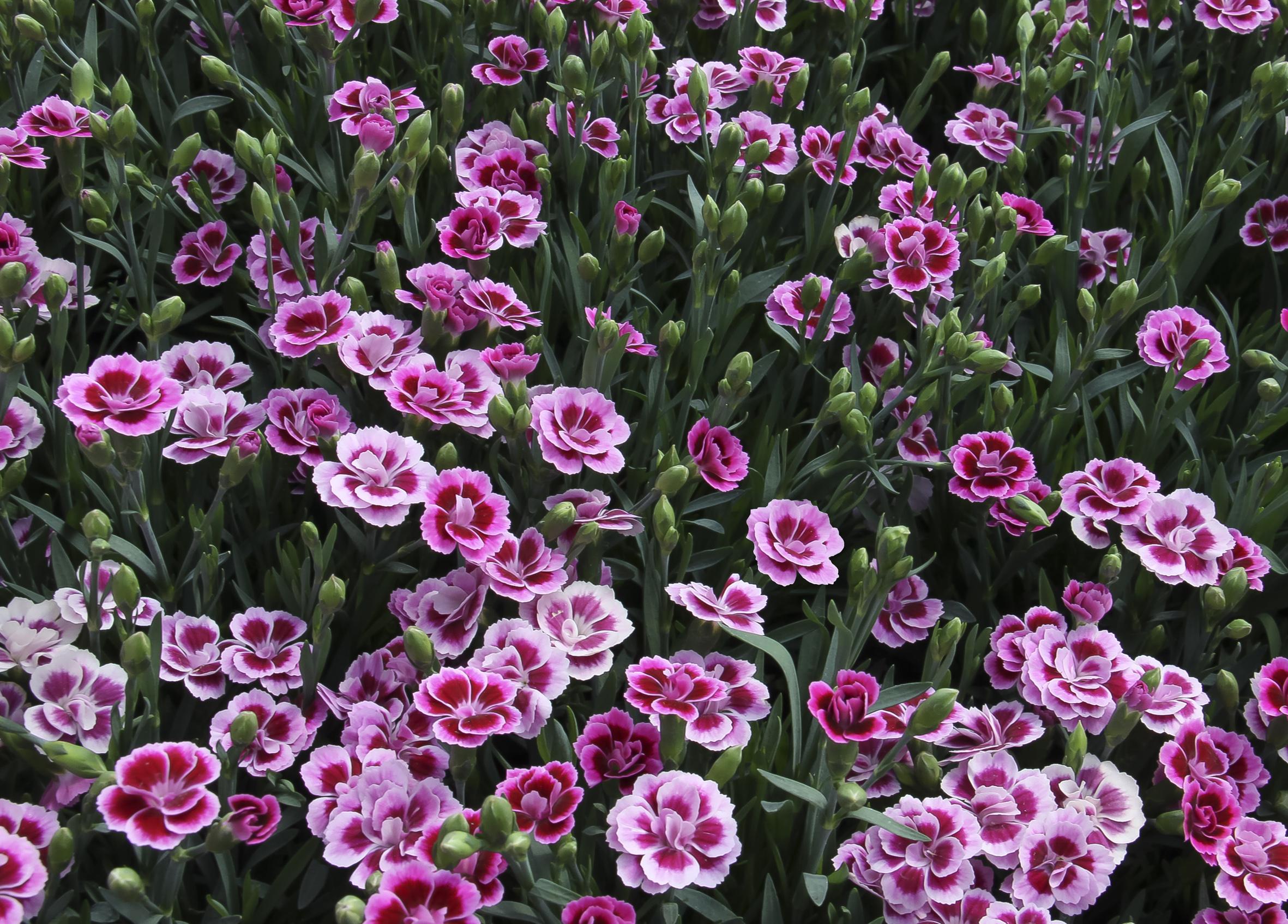 wild carnations dianthus caryophyllus auntie dogma 39 s garden spot. Black Bedroom Furniture Sets. Home Design Ideas