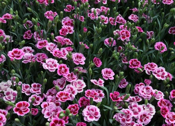 Dianthus-caryophyllus-Pink-Kisses