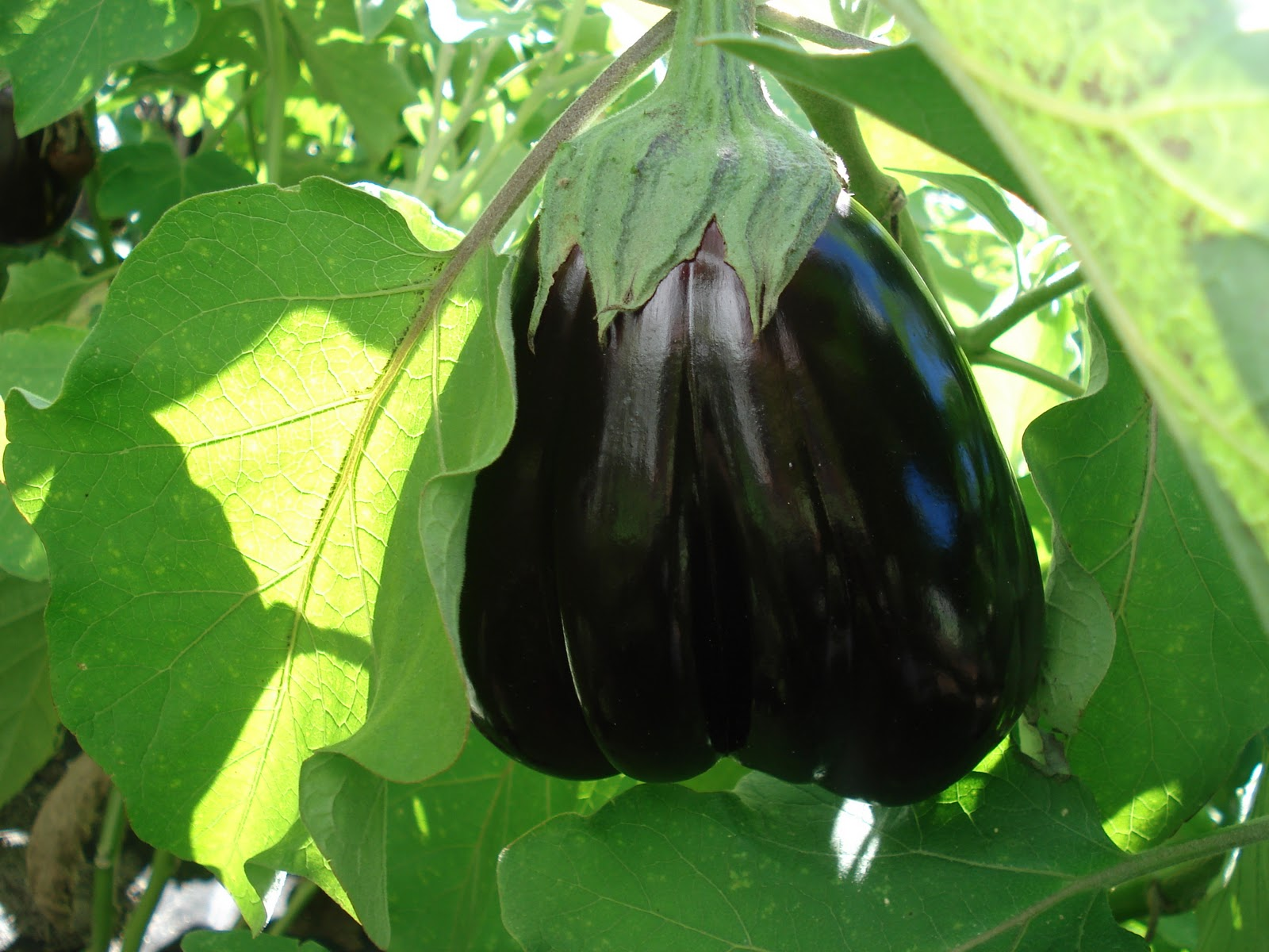 how to grow eggplant from cuttings