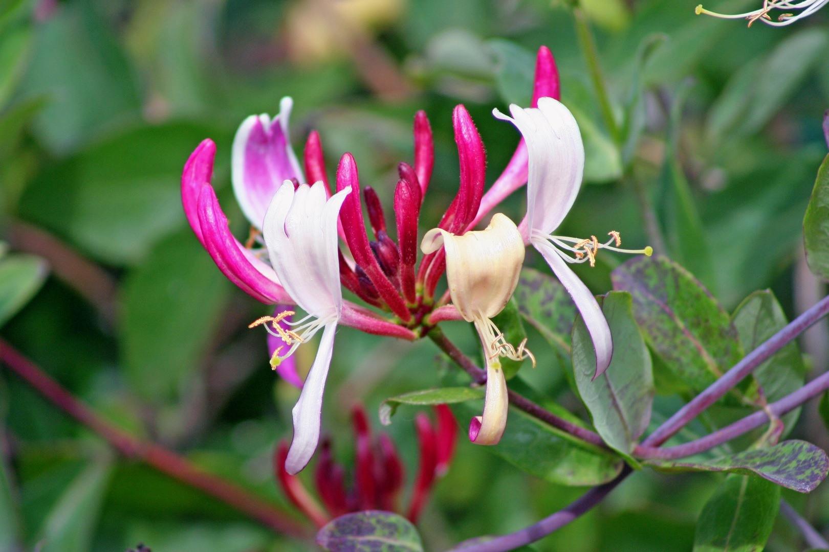 honeysuckle | Auntie Dogma's Garden Spot