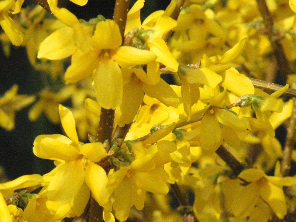 Window Herb Gardens Forsythia Auntie Dogma S Garden Spot