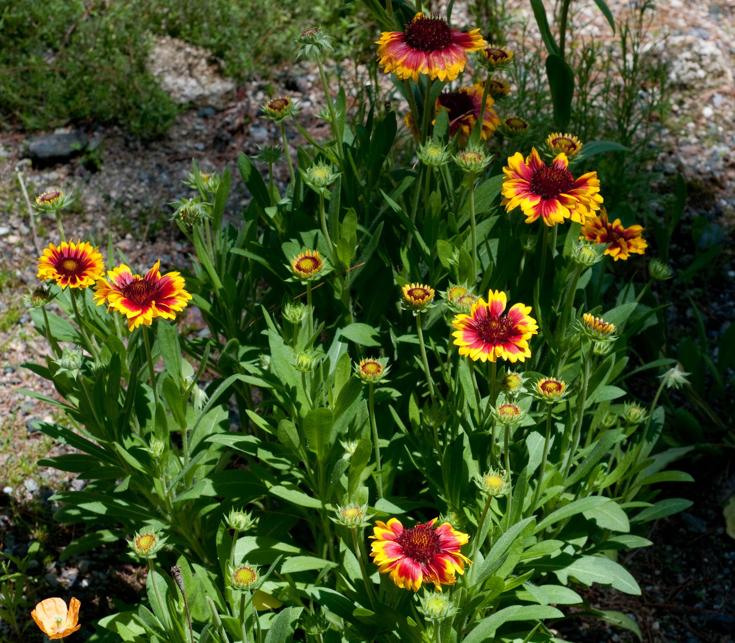 Indian Blanket Auntie Dogmas Garden Spot