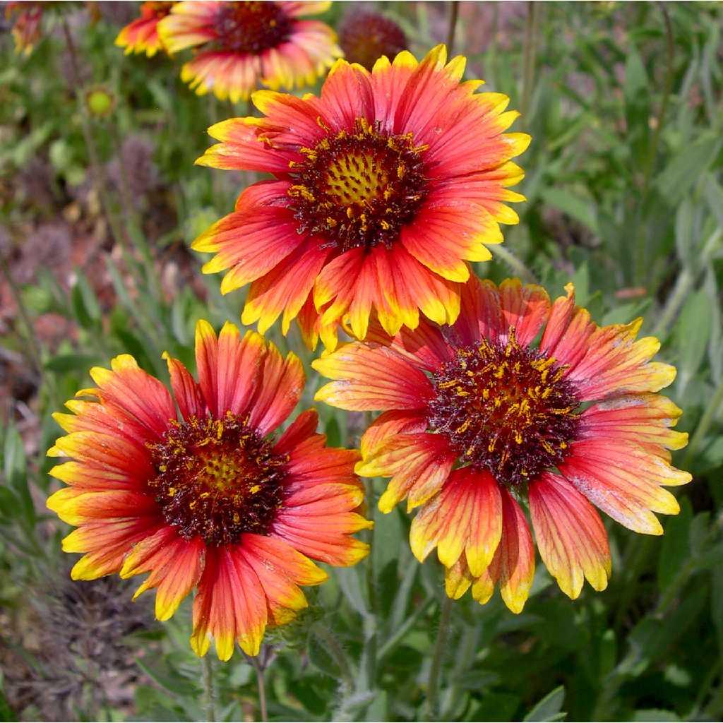 Window Herb Gardens Gaillardia Pulchella Auntie Dogma S Garden Spot