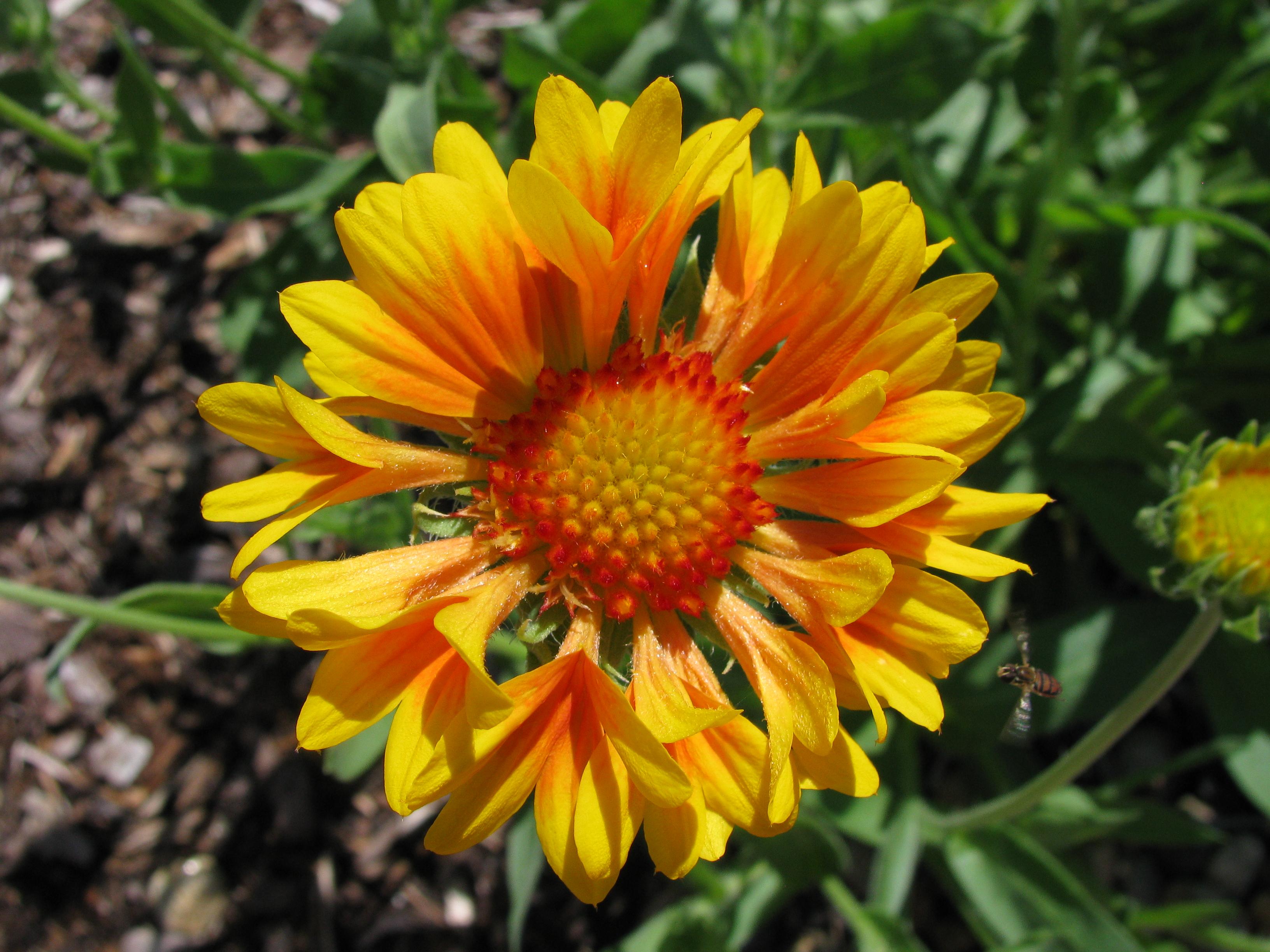 Gaillardia Blanket Flower Plant Care Guide And Varieties Auntie