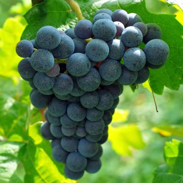 grapepots