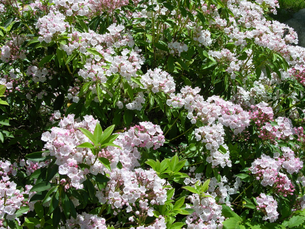 Rhododendron mountain laurel plant care guide auntie for Garden shrubs