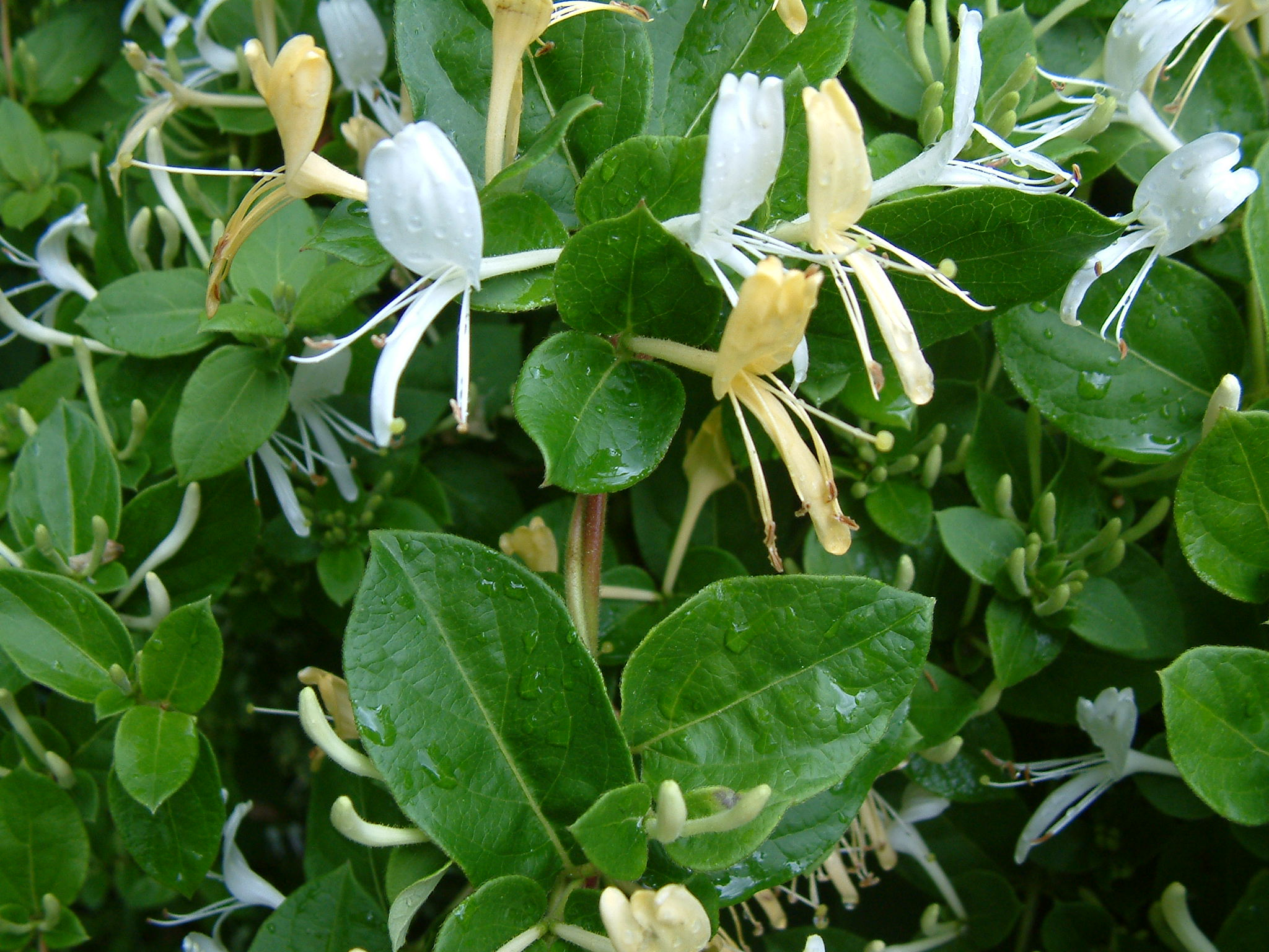 Honeysuckle Plant Care Guide and Varieties